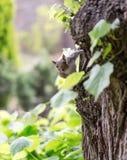 Grey squirrel, Sciuridae, on tree trunk poses to portrait photog Royalty Free Stock Photo