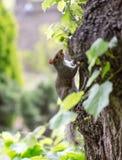 Grey squirrel, Sciuridae, on tree trunk poses to portrait photog Stock Images