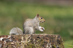 Grey Squirrel - Sciurus carolinensis Stock Photo