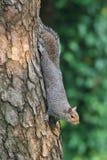 Grey Squirrel (Sciurus carolinensis) stock images
