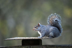 Grey Squirrel (Sciurus carolinensis) Stock Image