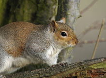 Grey Squirrel - Sciurus carolinensis Stock Images