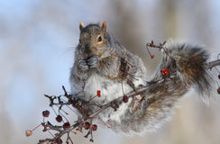 Grey squirrel (Sciurus carolinensis) Royalty Free Stock Image