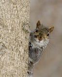 Grey Squirrel (Sciurus carolinensis) royalty free stock photography
