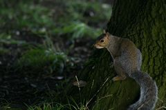 Grey Squirrel / Sciurus carolinensis at the base of a large tree in the woods royalty free stock images