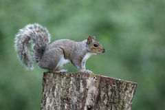 Grey squirrel, Sciurus carolinensis Royalty Free Stock Images