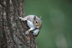 Grey squirrel, Sciurus carolinensis Stock Photos