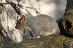 Grey Squirrel sciurus carolinensis on tree branch Royalty Free Stock Photos