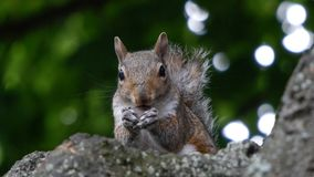 Grey Squirrel / Sciurus carolinensis eating a nut in a tree with green bokeh foliage background royalty free stock images