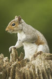 Grey Squirrel Sciurus carolinensis Stock Photo