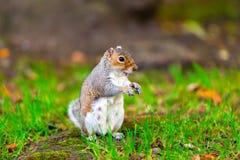 Grey Squirrel Sciurus-carolinensis die zich op de grond bevinden en in natuurlijk milieu eten stock afbeeldingen
