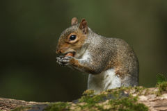 A Grey Squirrel  (Sciurus carolinensis) eating an acorn. Royalty Free Stock Photography