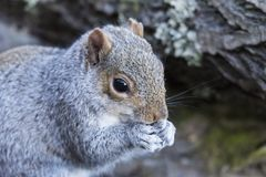 Grey Squirrel, Sciurus carolinensis, eating Stock Photos