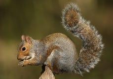 Grey Squirrel  (Sciurus carolinensis) eating nuts. Stock Image