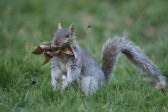 Grey squirrel, Sciurus carolinensis Royalty Free Stock Photo