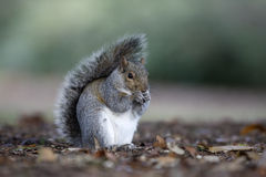Grey squirrel, Sciurus carolinensis Stock Image