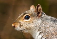 Grey Squirrel ( Sciurus carolinensis) Stock Photography
