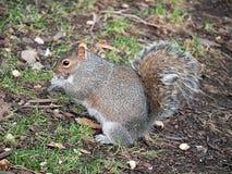 Grey squirrel Sciurus carolinensis natural habitat Stock Images