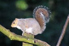 Grey squirrel sciurus carolinensis on post Stock Photos