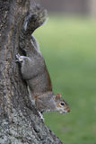 Grey squirrel, Sciurus carolinensis Royalty Free Stock Photography