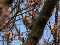 Grey squirrel / Sciurus carolinensis on tree branch in autumn eating sycamore seeds, surrounded by brown leaves. royalty free stock images