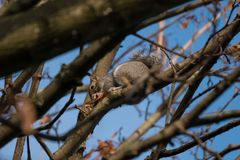 Grey squirrel / Sciurus carolinensis on a branch in autumn eating sycamore seeds, surrounded by brown leaves. stock images