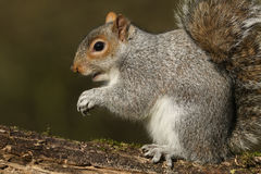A Grey Squirrel Sciurus carolinensis. Royalty Free Stock Images
