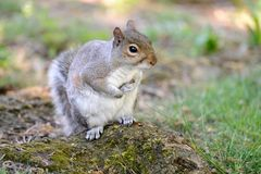 Grey squirrel (Sciurus carolinensis) sitting up Stock Images