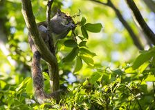 Grey Squirrel (Sciurus carolinensis). Spotted outdoors in Santry, Dublin Royalty Free Stock Image