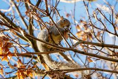 A grey squirrel / Sciurus carolinensis in autumn eating winged sycamore seeds, surrounded by brown leaves. stock photography
