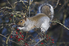 Grey squirrel, Sciurus carolinensis Stock Images