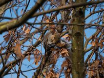 Grey squirrel / Sciurus carolinensis on a tree branch in autumn eating sycamore seeds, surrounded by brown leaves. stock photos