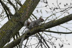 Grey Squirrel / Sciurus carolinensis in a tree in winter with bare branches royalty free stock images