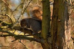Grey squirrel  Sciurus carolinensisin winter branches Stock Photos