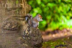 Grey Squirrel Sciurus-carolinensiszitting op de boom en het eten in natuurlijk milieu royalty-vrije stock foto's