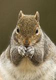 Grey Squirrel (Sciuruscarolinensis) Royaltyfri Bild