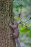 Grey Squirrel & x28; Sciuruscarolinensis& x29; klättring och ek & x28; Quercus& x29; arkivbild