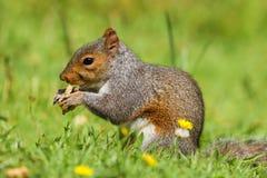 Grey Squirrel sciuruscarolinensis på äta för jordning royaltyfria foton