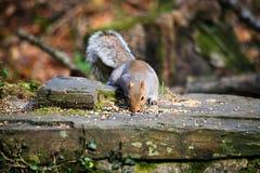 Grey Squirrel (Sciuruscarolinensisen) Royaltyfri Foto