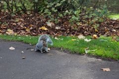 Grey squirrel in scotland park in Glasgow stock photography