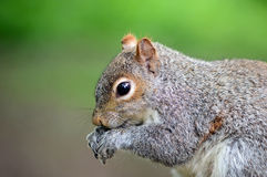 Grey Squirrel side profile portrait Stock Photos