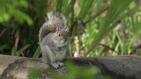 Grey Squirrel Sits nel vento archivi video