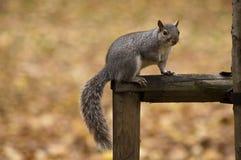 Grey squirrel Stock Image