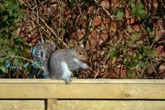 Squirrel sitting on a fence royalty free stock photos