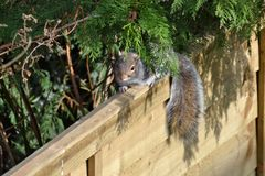 Squirrel peeking through a bush sitting on a fence royalty free stock image