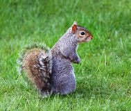 Grey Squirrel sitting on the ground Stock Photos