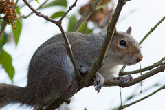 Grey Squirrel Royalty Free Stock Images