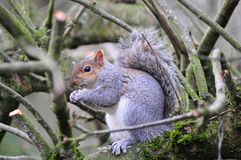 Grey squirrel sitting in a tree. Stock Image