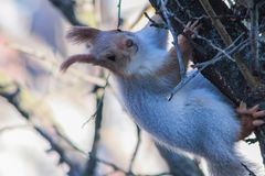 Grey squirrel sitting on a tree trunk. Nature background Stock Image