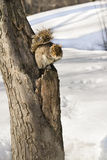 Grey squirrel sitting on tree Stock Images